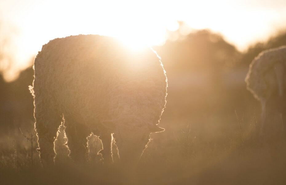 Früh aufstehen. Bild von Schafen im Morgentau